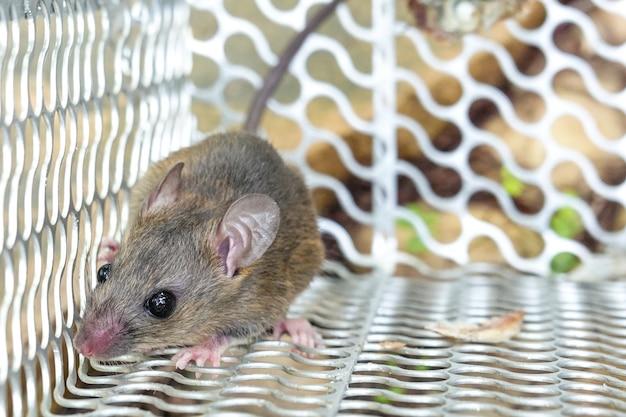 Ratte im käfigmausefallenfang zu hause. Premium Fotos