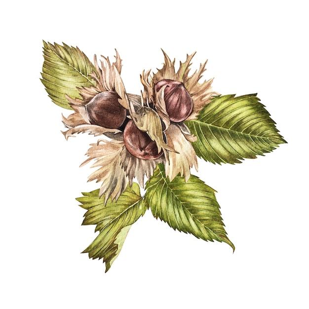 Realistische illustration des aquarells von haselnüssen. satz aquarellhaselnusselemente, handgemalt lokalisiert Premium Fotos