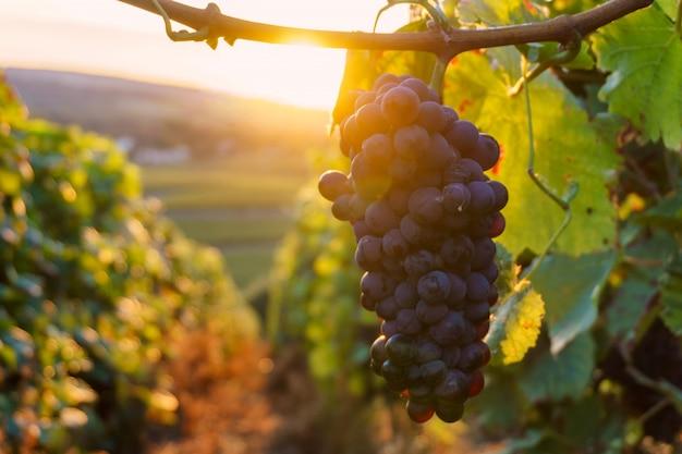 Rebtrauben in der champagnerregion in der herbsternte, frankreich Premium Fotos
