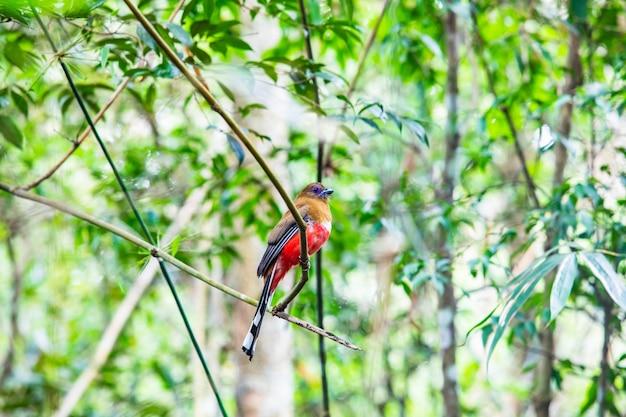 Red-headed trogon (weiblich) bunter vogel im tropischen wald von thailand. Premium Fotos
