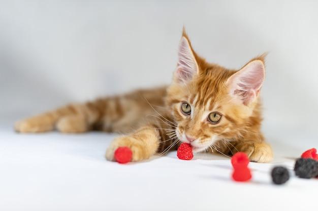 Red maine coon kätzchen. nette, größte und schöne katzenzucht. weißer hintergrund Premium Fotos