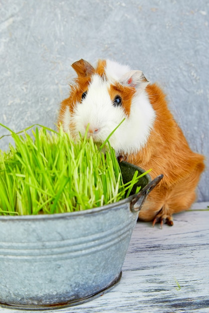 Redheadmeerschweinchen nahe vase mit frischem gras. studio-foto. Premium Fotos