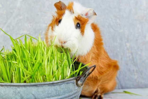 Redheadmeerschweinchen nahe vase mit frischem gras. Premium Fotos