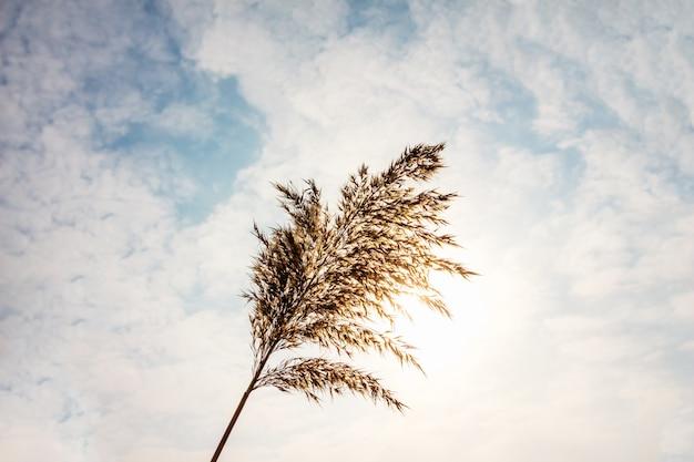 Reed nahaufnahme auf einem wolken Premium Fotos