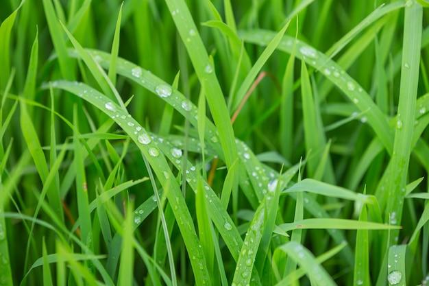 Regentropfen, die oben auf dem grünen gras bleiben, verlässt am abend. Kostenlose Fotos