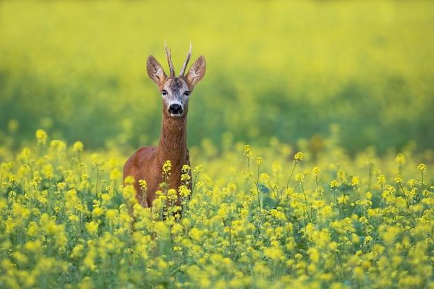 Rehbock, der auf einem blumigen rapsfeld mit gelben blumen im sommer steht Premium Fotos