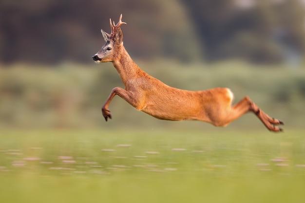 Rehdollar, der hoch in sommernatur beim laufen schnell springt Premium Fotos