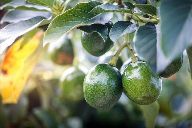 Reife avocadofrüchte, die an der niederlassung hängen Premium Fotos