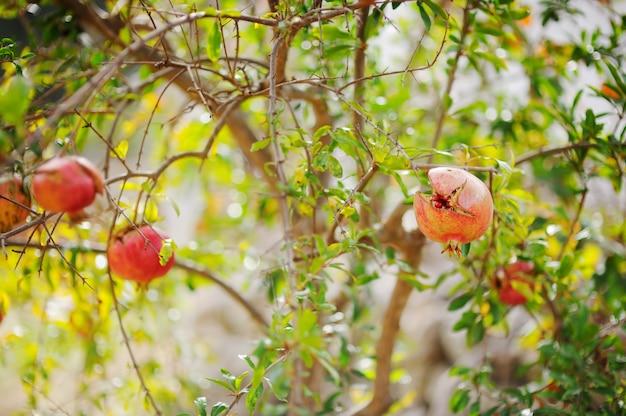 Reife granatäpfel, die auf dem baum sich öffnen Premium Fotos