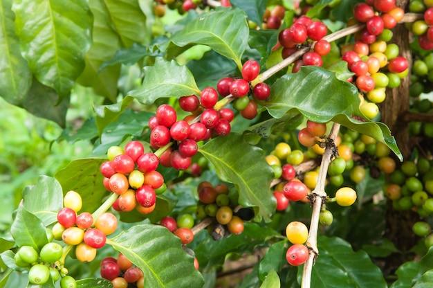 Reife kaffeeernte auf baum, kaffeeplantage im bauernhof Premium Fotos