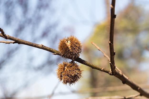Reife kastanienfrucht auf dem ast Kostenlose Fotos