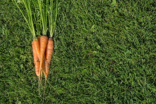 Reife und frische organische karotten auf gras. ansicht von oben. sommerernte. Premium Fotos