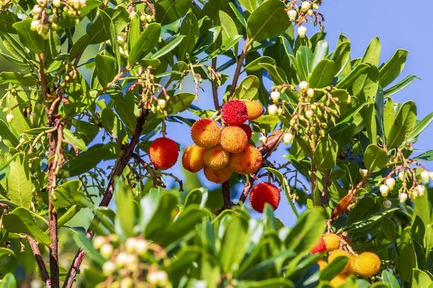 Reife und halbreife früchte von madrono (reifer erdbeerbaum). natürliche beschaffenheit von grünblättern und von roten beeren Premium Fotos