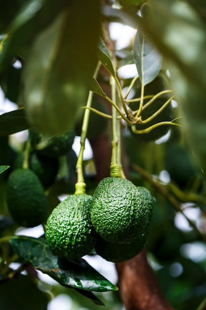 Reifer hass avocados, der am baum hängt Premium Fotos