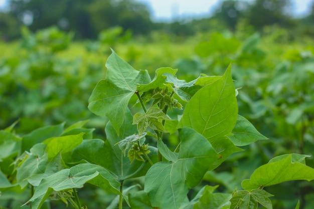 Reihe des wachsenden baumwollfeldes in indien. Premium Fotos