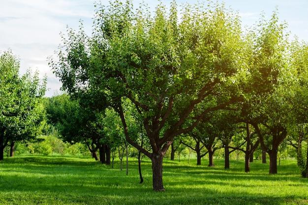 Reihen von birnbäumen im sommerobstgarten Premium Fotos