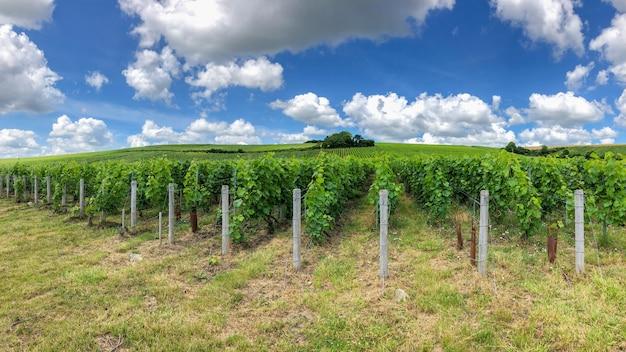 Reihenrebtraube in den champagnerweinbergen bei montagne de reims, frankreich Premium Fotos
