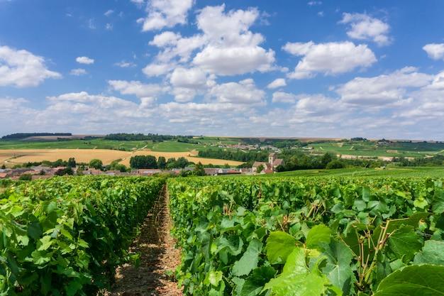 Reihenrebtraube in den champagnerweinbergen Premium Fotos