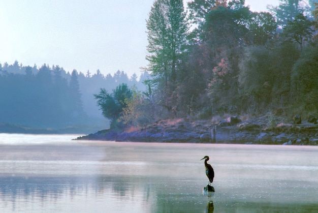 Reiher am mund des lake oswego creek in oregon Premium Fotos