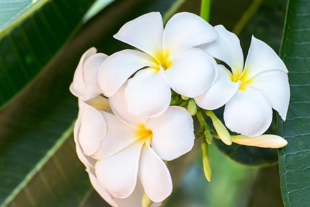 Reinheit der weißen frangipani-blüte der tropischen baumblume, der auf baum blühenden plumeria-blume, spa-blume Premium Fotos