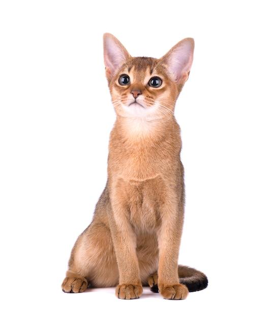 Reinrassige abessinische katze isoliert auf weißem raum. nettes verspieltes kätzchen isoliert Premium Fotos