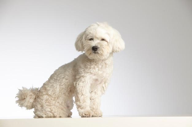 Reinrassiger hund des zwergpudels Premium Fotos