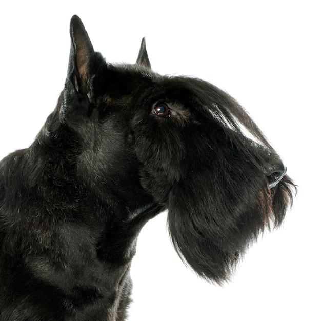 Reinrassiger scottish terrier Premium Fotos