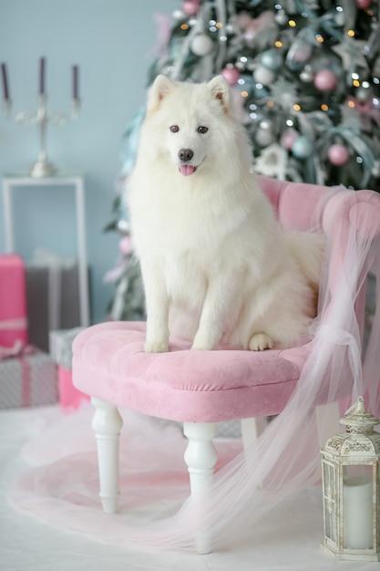 Reinrassiger weißer flaumiger hund, der auf einem stuhl sitzt und aufwirft. Premium Fotos