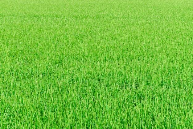Reisfarm grüne reisfeld natur hintergrund textur Kostenlose Fotos