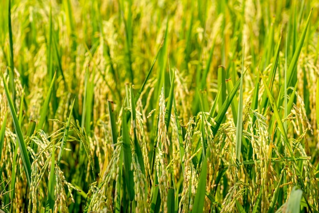 Reisfarm- reisfeld- reisfeld, Premium Fotos