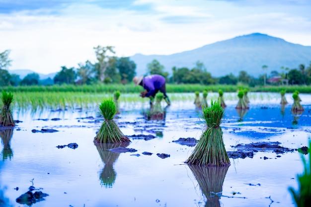 Reisfeld, das jahreszeit auf bauernhoflandschaft in thailand sät Premium Fotos