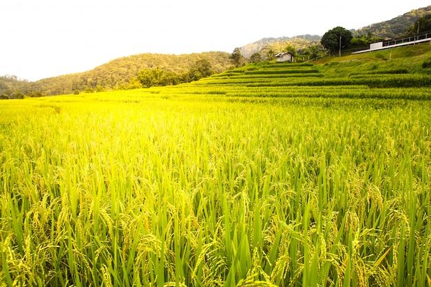 Reisfeld in chiang mai, thailand. Premium Fotos