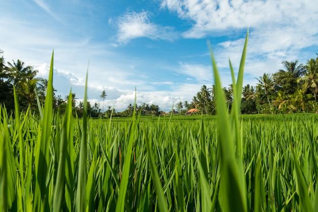 Reisfelder in ubud Kostenlose Fotos