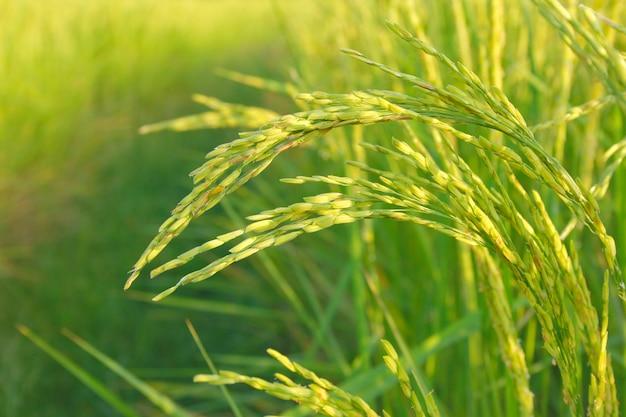 Reisfelder Premium Fotos