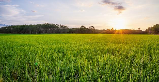 Reisfeldpanorama mit sonnenaufgang oder sonnenuntergang und sonnenstrahlaufflackern Premium Fotos