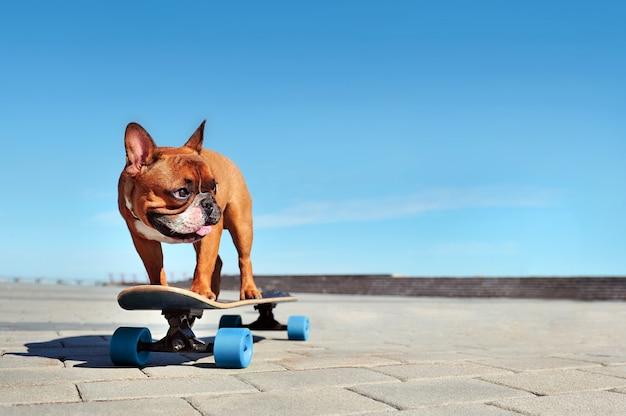 Reiten der französischen bulldogge auf dem longboard Premium Fotos