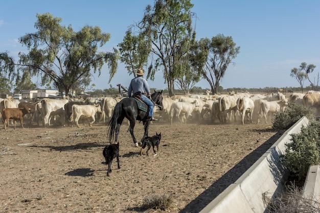 Reiter führt eine herde von tieren in einer farm in australien Kostenlose Fotos