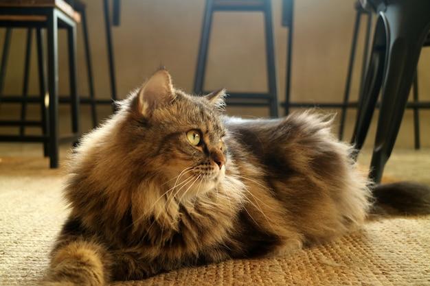 Reizende braune flaumige haar-persische katze, die auf dem boden hockt Premium Fotos