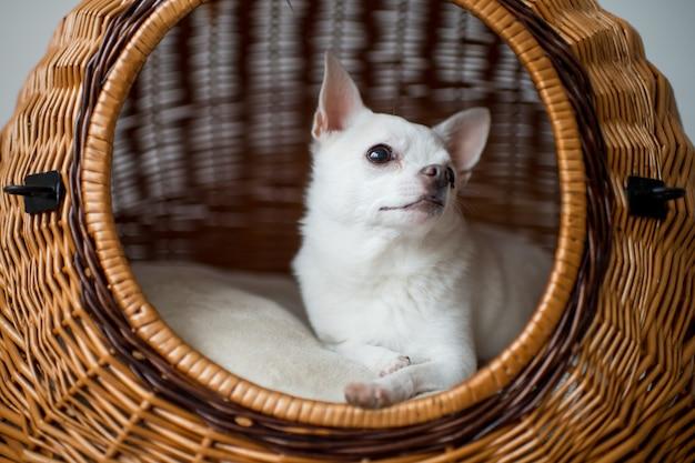Reizender chihuahuawelpe, der in der hundehütte liegt Premium Fotos