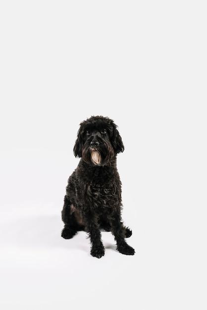 Reizender schwarzer hund, der mit weißem hintergrund aufwirft Kostenlose Fotos