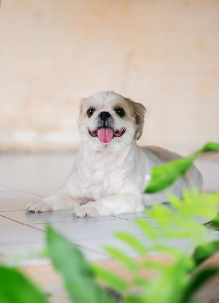 Reizender welpe oder wenig weißer und brauner shih tzu hund, der sitzt und zunge heraus schauen, schauen so süß. Premium Fotos