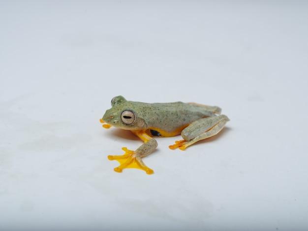 Rhacophorus bipunctatus (doppelt gefleckter roter laubfrosch, doppelt gefleckter laubfrosch, himalaya-flugfrosch, orange gefleckter laubfrosch, zweifach gefleckter buschfrosch, zweifach gefleckter laubfrosch) Premium Fotos