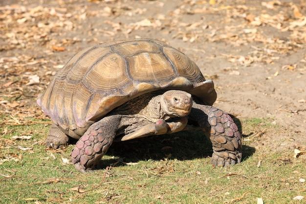 Riesenschildkröte, die auf der erde geht Kostenlose Fotos