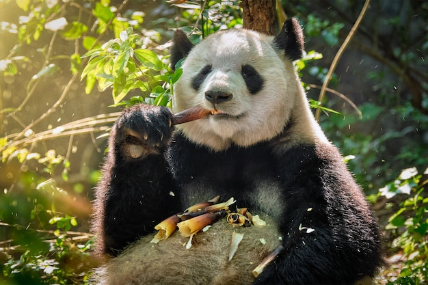 Riesiger pandabär in china Premium Fotos