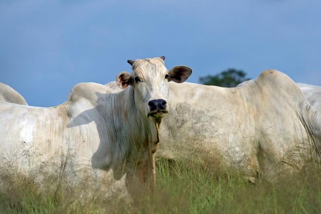 Rinder der nelore-rasse auf der weide von hohem gras Premium Fotos