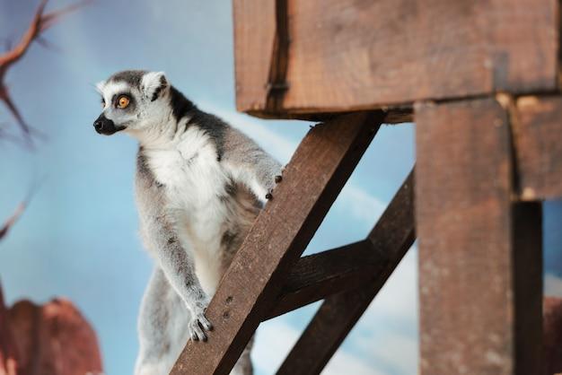 Ring-tailed lemur auf hölzerner leiter Kostenlose Fotos