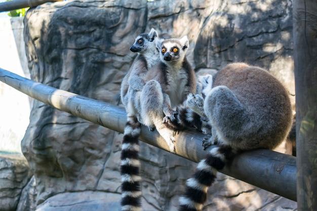 Ring-tailed wilde lemur-familie Premium Fotos