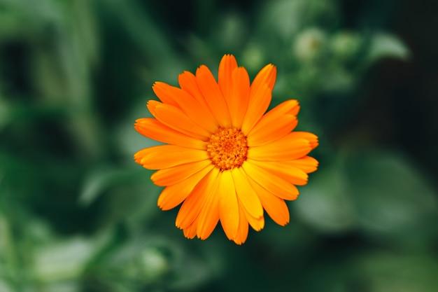 Ringelblumenblüte Premium Fotos