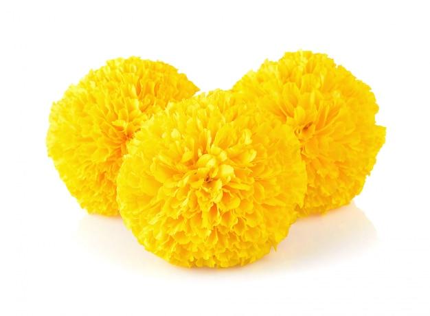 Ringelblumenblume auf weiß Premium Fotos
