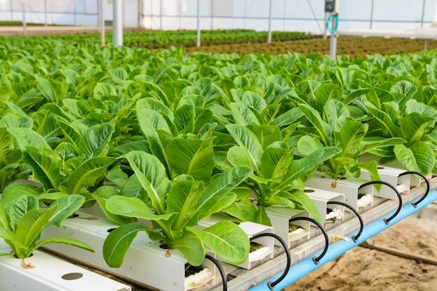 Römersalat hydroponic gemüseplantage Premium Fotos